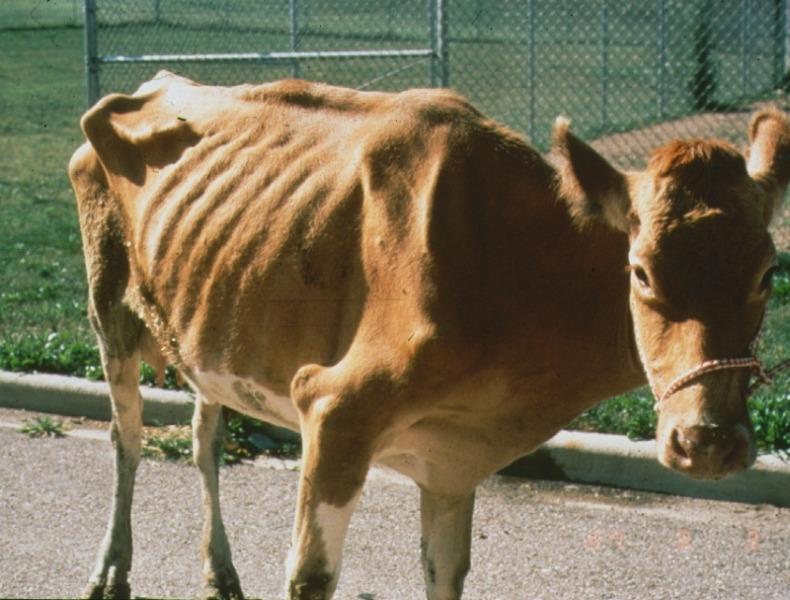 Cas de paratuberculose bovine