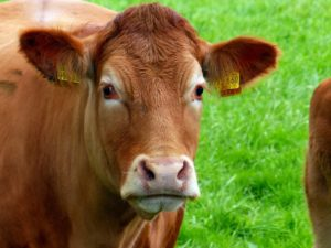 Restriction de transport bovin canicule